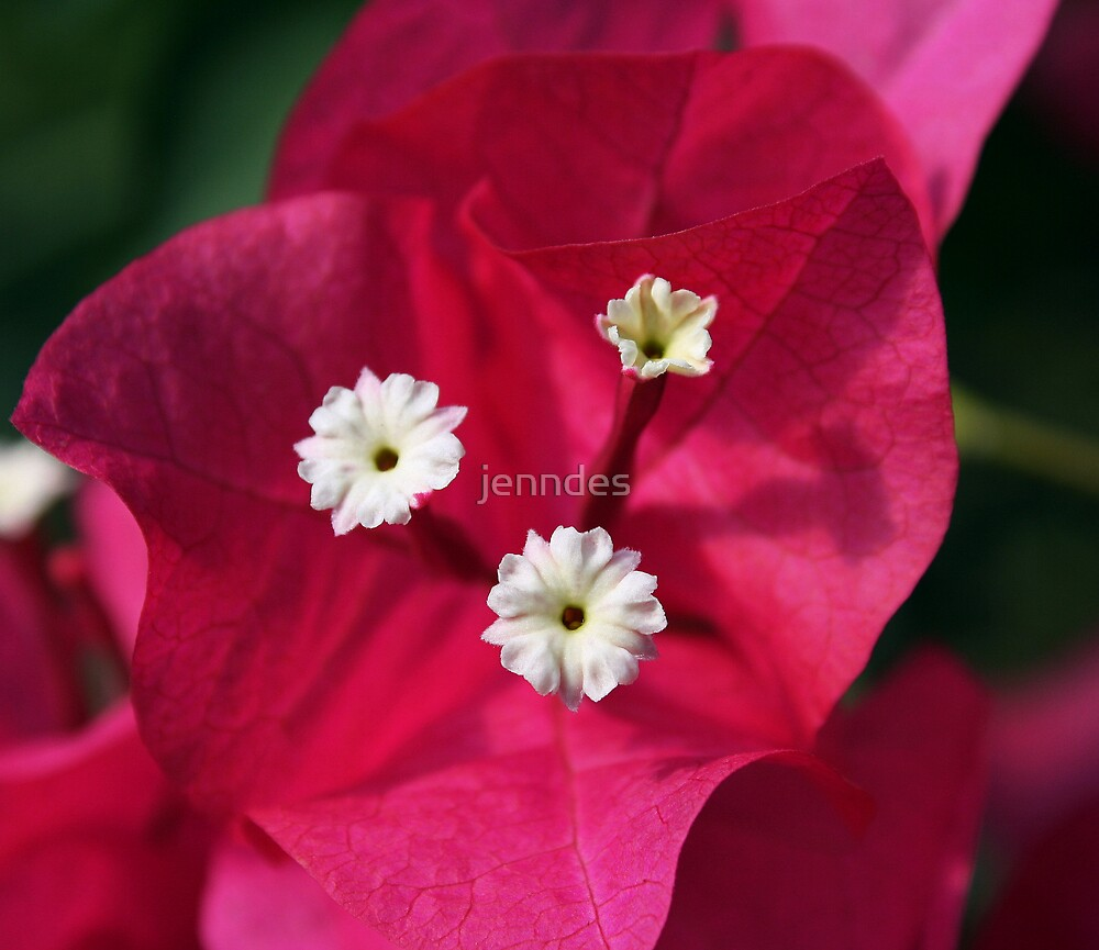 Bouganvillea by jenndes