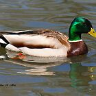 MALE MALLARD DUCK by Madeline M  Allen