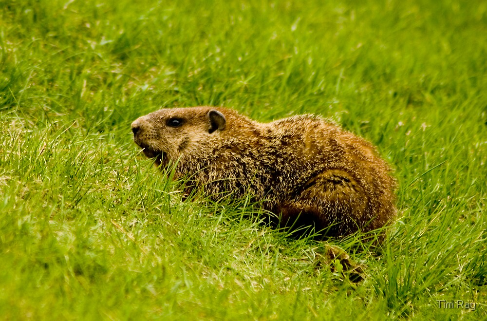 Groundhog by Tim Ray