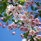 Duffs Crab Apple Tree by peggywright