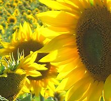 Sunny Sunflowers by Stephen Thomas