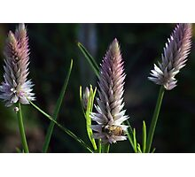 Flowering Onion and Bee Photographic Print