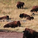 Bisons of Yellowstone by zumi