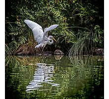 Egret Hunting for Lunch Photographic Print