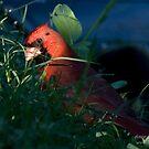Cardinal Sun by Jerry  Mumma