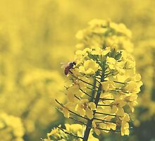 Canola Bee by weirdoodle