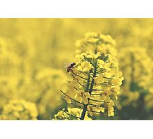 Canola Bee Photographic Print