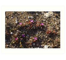 outback wildflowers Art Print