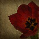 amore di tulipani by Lorraine Creagh