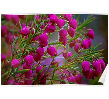 Red Boronia. Poster