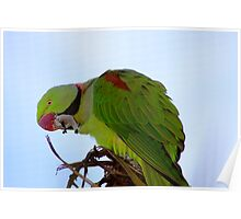 Indian Ring-necked Parrot Poster