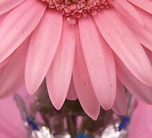 Pink Gerbera Daisy  by Rachel Leigh