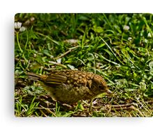 Learning to forage for food! Canvas Print