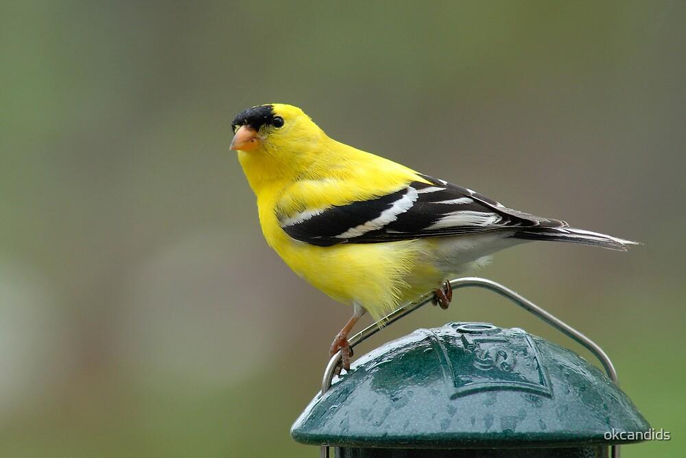 (Male) American Goldfinch by okcandids