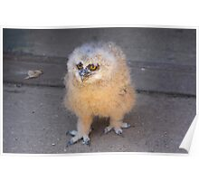 Baby Owl 3 ( one of four ) Poster