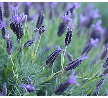 Lavender Photographic Print