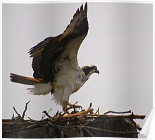 Osprey Preparing for Flight Poster