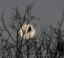 Winter Moon - Southern Hemisphere - Bird in Shot by Paul Lindenberg