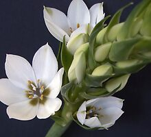 star of bethlehem by pictorials  :)