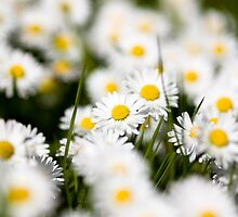 Clump of Daisies by ryanphotography