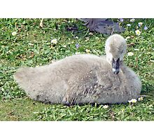 A Black Swan Cygnet Photographic Print