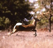 White-Tail Deer Running by BravuraMedia