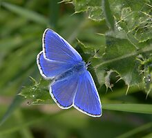 Common Blue by Neil Bygrave (NATURELENS)