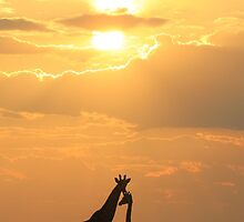 Giraffe Silhouette - Golden Beauty by LivingWild