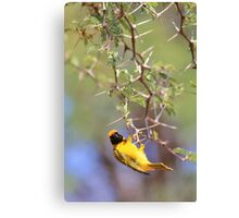 Southern Masked Weaver - Acrobatic Fun Canvas Print