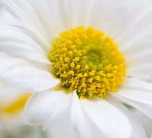 Fresh white Daisy by Michael Findlay