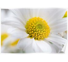 Fresh white Daisy Poster
