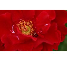 A Rose For The Lady Photographic Print