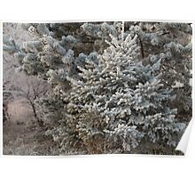 Hoarfrost on branches of spruce Poster