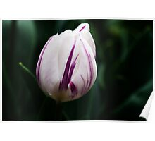 "Triumph Tulipa ""Flaming Flag"" Poster"