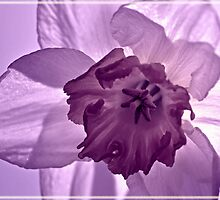 Lilac Daffodil by M.S. Photography/Art