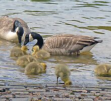 Canada Geese And Their Goslings by AARDVARK