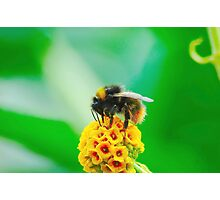 Buff-Tailed Bumble Bee Photographic Print
