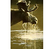 Moose Dipping His Head Into Water Photographic Print