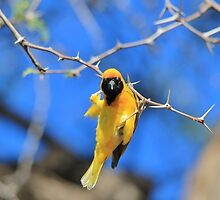 Golden Weaver - Hanging on for LIfe by LivingWild
