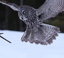 Great Grey Owl About to Land by hummingbirds