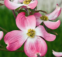 Dogwood Delight by Jan Cartwright