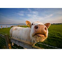 Cheeky Cow Photographic Print