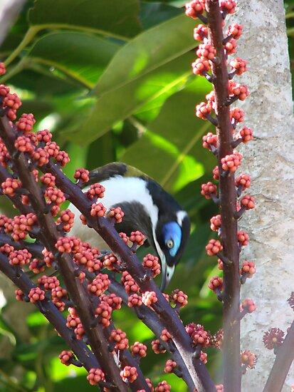 Blue Eyed Honey eater & Red Umbrella Fruit-2 by Martice