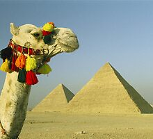 A festively ornamented camel ponders the ancient pyramids at Giza. Humans have done the same for thousands of years—but still can't be sure how the monuments were created. by alanalan