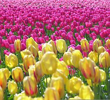 Tulip Farm by richbryant