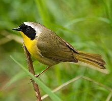 Common Yellowthroat by Bryan Peterson
