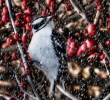 Downy In The Berries by Shelley Neff