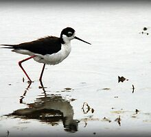Black Necked Stilt - Wetlands by Ryan Houston