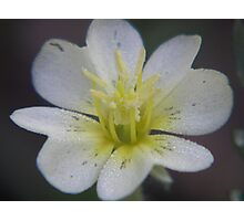 laden petals Photographic Print