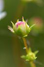 The Bud of a Wild Strawberry Blossom  by Kathleen Daley